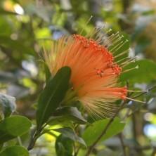 Цветок - мохнатик