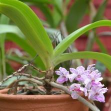 Миниатюрная Орхидея