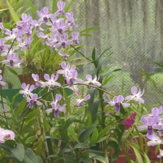 Россыпь голубых цветов Орхидеи