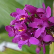 Соцветие Фиолетовой Орхидеи