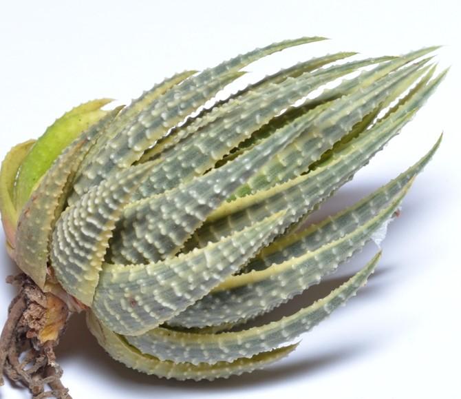 Haworthia attenuata gold