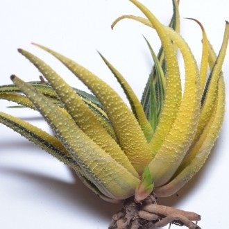 Haworthia radula variegated