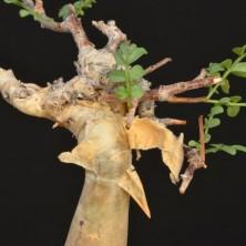Ствол дерева Коммифоры