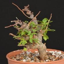 Уникальные растения - Коммифоры