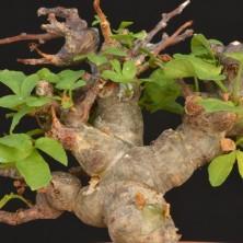 Коммифора - деревце с толстым стволом