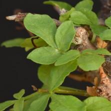 Растение Коммифора