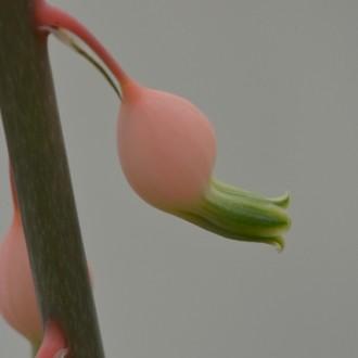 Цветок Гастерии