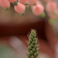 Бутоны и цветы Гастерии