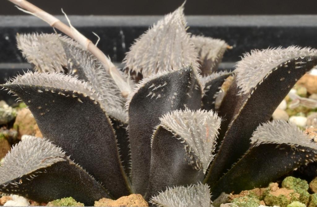 Хавортия  виды уход размножение  GreenHome