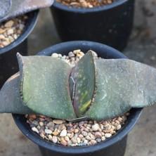 Gasteria armstrongii hybrid variegated