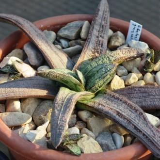 Гастерия батесиана грей (Gasteria batesiana grey)