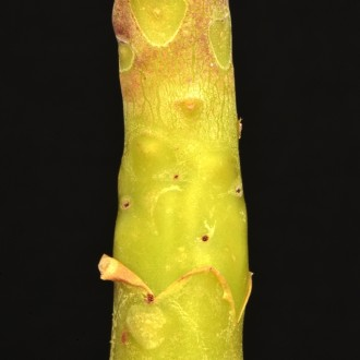 Ствол Тилекодона метельчатого