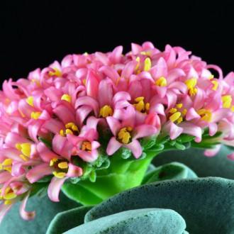 Толстянка цветет
